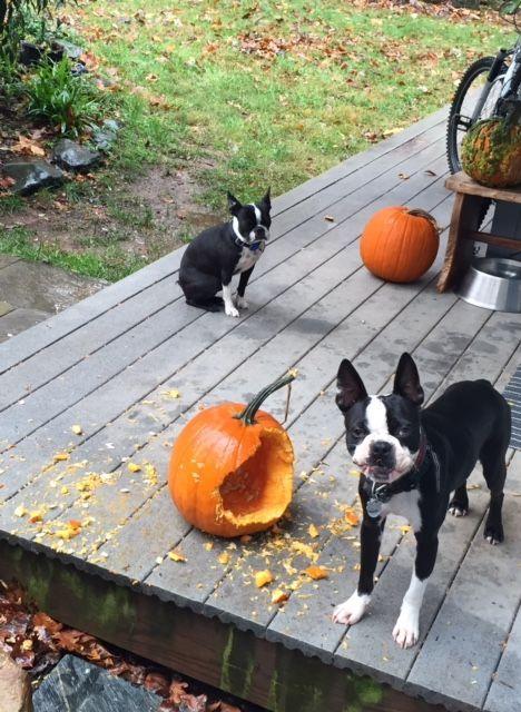 What Pumpkin?! ❤❤❤ from: http://bostonterrierworld.com/what-pumpkin/