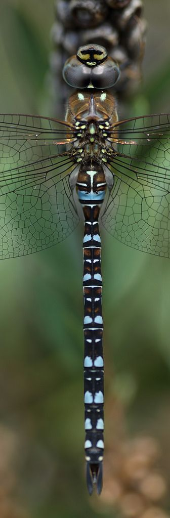 3 shot panorama of a Migrant hawker dragonfly
