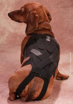 Lil Back Bracer: keep this pin just in case you have a dachshund - they are notorious for back problems #backbrace #prevent