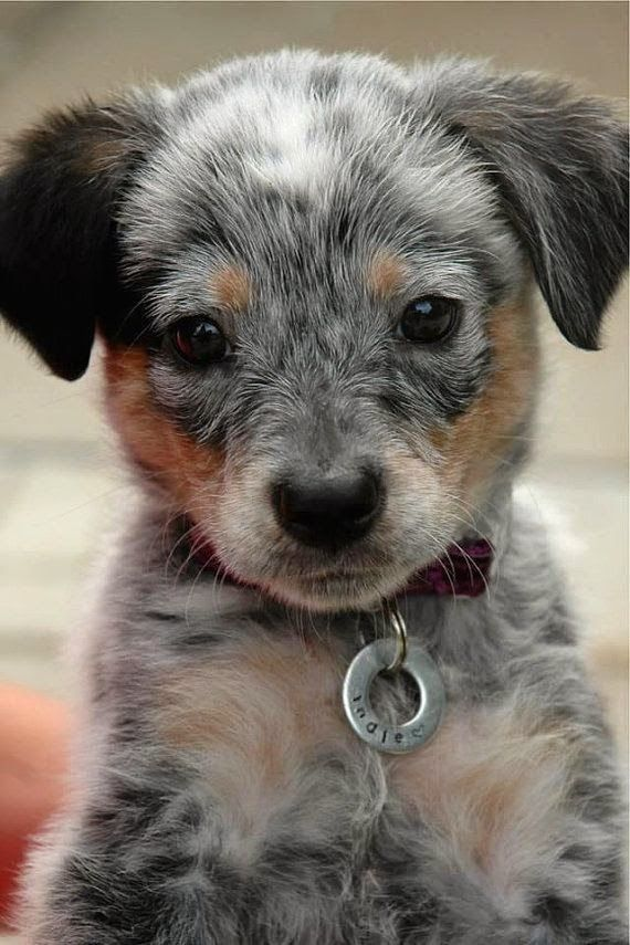 Australian Cattle Dog Blue Heeler. Cutest puppy in the universe, I swear. The puppy tags are fine too.