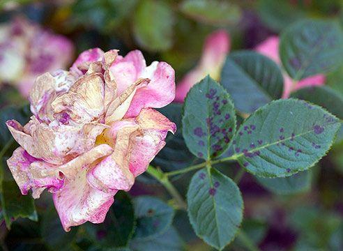Болезни розы