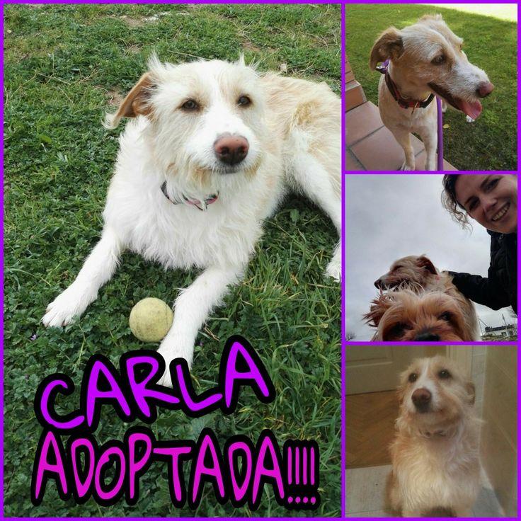 Carla adoptada!!!!! Si, si como oís, tras 3 años con nosotros al fin sabe lo que es un hogar. Ya era hora de que Carla encontrará a su familia. Preciosa ha costado pero por fin eres más feliz. Gracias a su familia por quererla tanto.