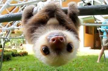 Dieses Baby Sloth wird Sie daran erinnern, niemals aufzugeben