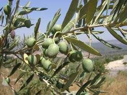 Олива рецепты из листьев