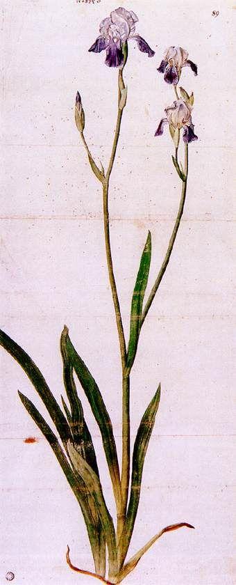 'Iris', pinsel von Albrecht Durer (1471-1528, Germany)