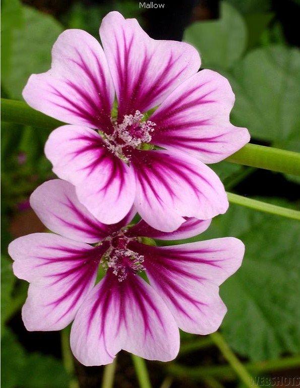 #Mallow  -  #flower #gardenFloral Splendor, Beautiful Flower, Spring Flower, Things Floral, Mallow Flower, Bloom, Beautiful Tattoo, Flowers, Flowers Garden