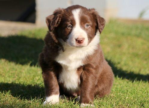 Border Collie puppy for sale in MOUNT JOY, PA. ADN-54154 on PuppyFinder.com Gender: Female. Age: 6 Weeks Old