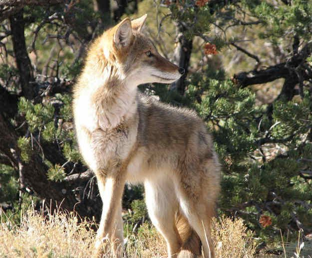 How To Get Rid Of Coyotes On Your Property | Trapping Tips by Survival Life at http://survivallife.com/how-to-get-rid-of-coyotes/