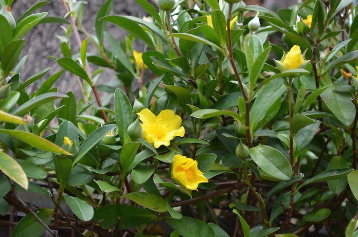 Hibbertia scandens, snake vine