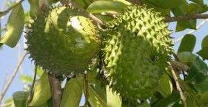 Graviola: la pianta che combatte il cancro, nessuno ne parla