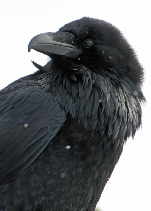 I love ravens and crows