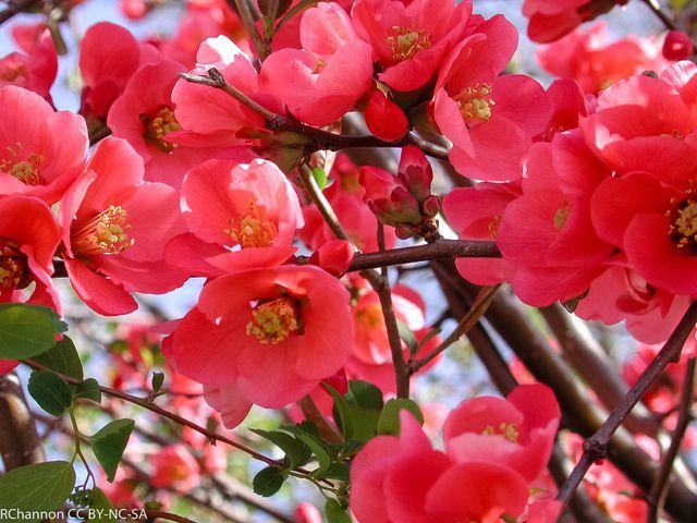 Mieux conna tre le cognassier du japon un arbuste remarquable qui fleurit en hiver et peut - Arbre du japon ...