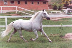 The name Mangalarga comes from the Hacienda Mangalarga which acquired stock from Campo Alegre ( Gabriel Francisco' breeding farm) and awakened interest in the horse among local ranchers. The horses smooth, cadenced and rhythmic gait, the marcha, contributed to the second name the Mangalarga Marchador was created.  The first association for the Mangalarga Marchador horse was founded in 1949 to set standards in confirmation, disposition, and gait. From these early beginnings, the Mangalarga…