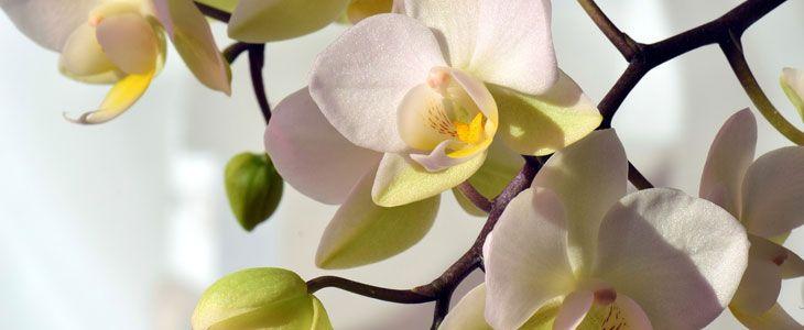fleurs de l 39 orchid e comment faire refleurir une orchid e actualit s sur le jardin. Black Bedroom Furniture Sets. Home Design Ideas
