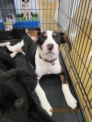 Adopt Sage On Border Collie Corgi Mix Camera Shy Animals