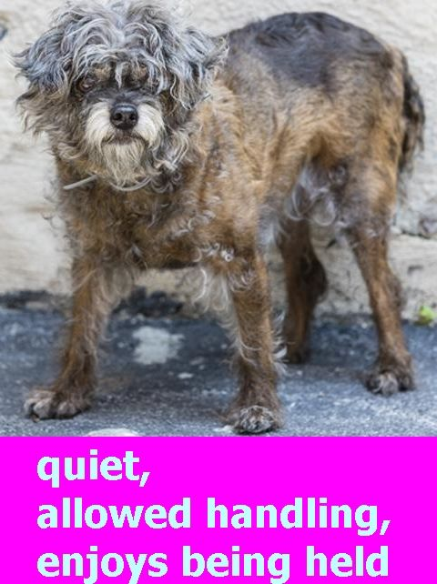 SAFE❤️❤️ 7/25/16 BY THE MR MO PROJECT❤️ THANK YOU❤️ SUPER URGENT Manhattan Center CHIPPIE – A1082006 FEMALE, BROWN / BLACK, CHIHUAHUA LH MIX, 10 yrs STRAY – STRAY WAIT, NO HOLD Reason STRAY Intake condition UNSPECIFIE Intake Date 07/20/2016 http://nycdogs.urgentpodr.org/chippie-a1082006/