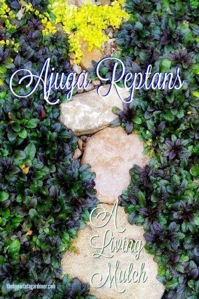 Plant Pick : Ajuga reptans Living Mulch via @hypertufagarden