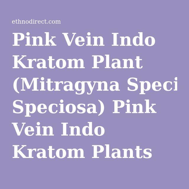 Pink Vein Indo Kratom Plant (Mitragyna Speciosa) Pink Vein Indo Kratom Plants For Sale : EthnoDirect.com, One Stop Ethnobotanical Plant Shop