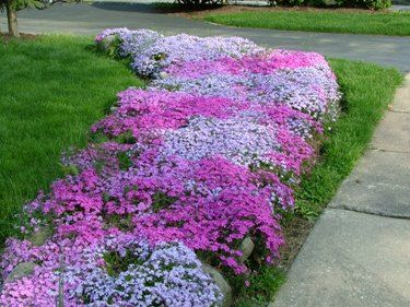 Creeping Phlox as a ground cover for the bed on the west side of the house which is mostly shaded
