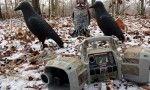 Crow hunting is one of those sports that is fun to do with friends. Other than being a fun time, there is a reason for hunting crows, they are destructive animals.Bass Pro Shops.
