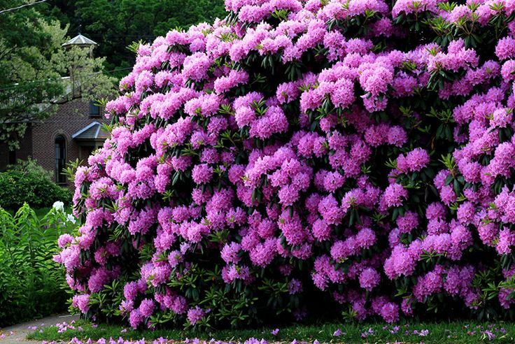 1 or 2 Potted Rhododendron Plants