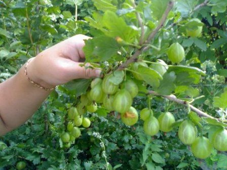 Богатый урожай крыжовника - правила ухода  #крыжовник #урожай #сад #полезные_советы