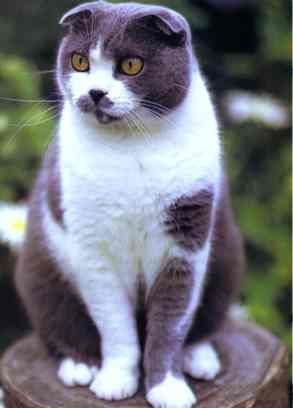 The Scottish Fold..very unusual-looking.