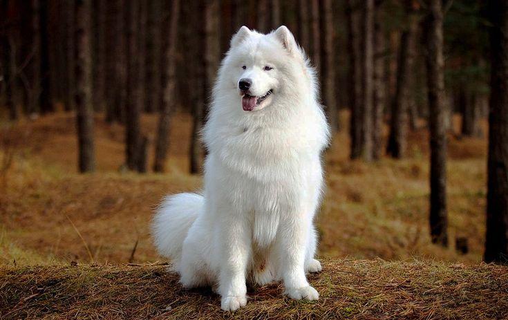 Порода собаки самоед: почему так назвали, фото, цена ...