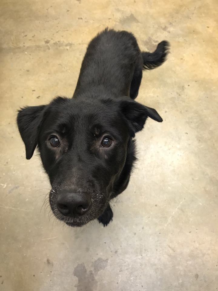 8/23/17 ⚓⚓⚓URGENT - YOUNG, ACTIVE PUP LONGS FOR A FAMILY TO LOVE! 8/23/17 Diesel is an adoptable Retriever searching for a forever family near Mansfield, OH. Arrived at the shelter as a stray on 6-3-17. My skin wasn't the best, but the staff is helping me get better! I do have a quirky personality and sometimes don't always warm up to people right away. When I do warm up though, be prepared for a large lap dog. I have discovered fetching a ball!