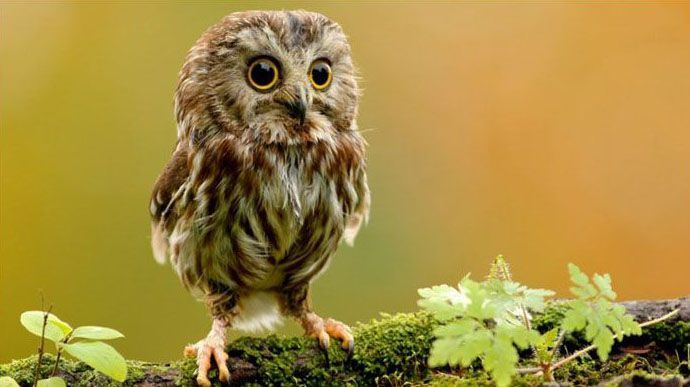 owl: Cute Baby, Little Owl, Animal Baby, So Cute, Baby Owl, Baby Animal, Cute Owl, Big Eye, Adorable Animal