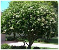 Wax leaf ligustrum.. The smell is divine! I need these in my yard