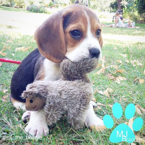Beagles Full Grown Beagles Grown Beagles Ausgewachsen