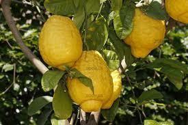 Óriás cédrát 'Citrus Maxima' (40cm) (Citrus medica Maxima): Citrusfélék | Ár: 5500.00 Ft