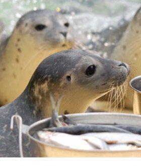 Seehunde bei der Fütterung, © Seehundstation Norddeich
