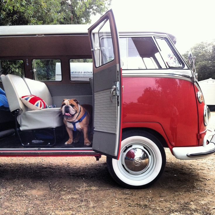 Even Bulldogs like Vintage Volkswagens!