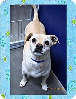 San Jacinto, CA - Corgi/Pug Mix. Meet Corgi/Pug male X, a dog for adoption. http://www.adoptapet.com/pet/18504145-san-jacinto-california-corgi-mix