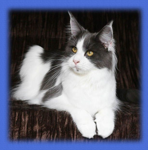 Maine Coon, Harlequin. Tica Grand Champion & Fife Supreme Champion Chamberlain Heart Of Mine, DVM.
