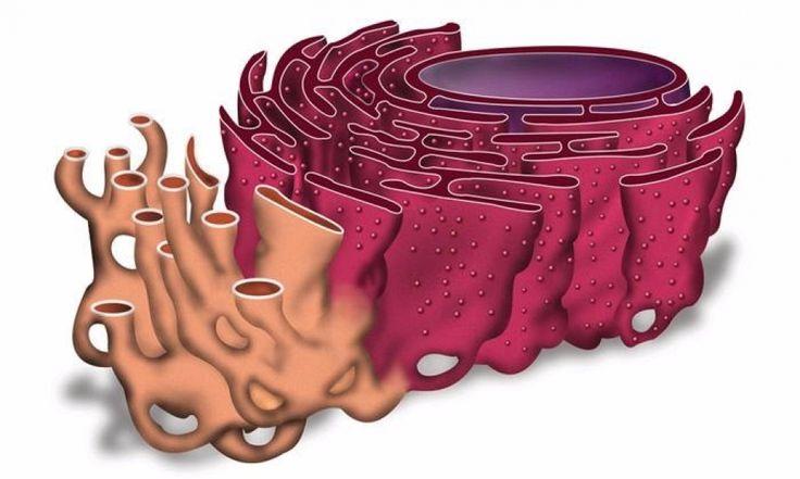 Endoplazmik Retikulum Nedir?