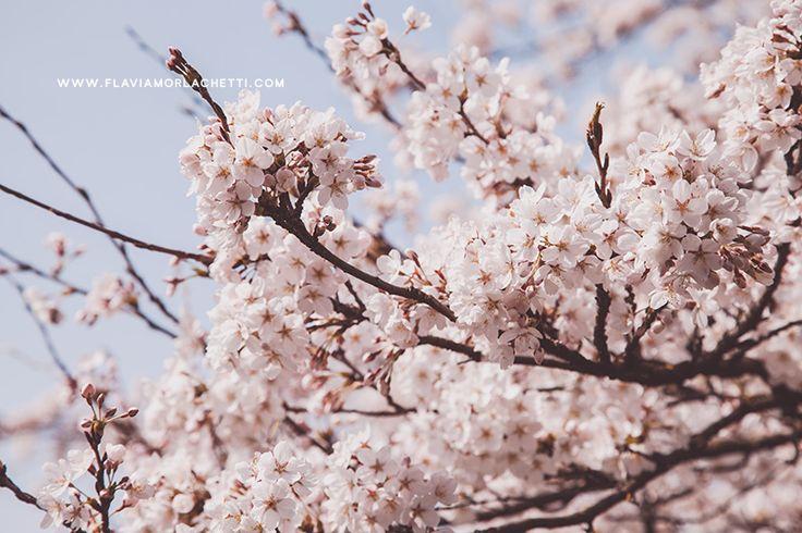 Cherry blossoms ~ www.flaviamorlachetti.com