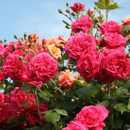 Oltre 1000 idee su rosier grimpant remontant su pinterest - Tailler un rosier grimpant ...