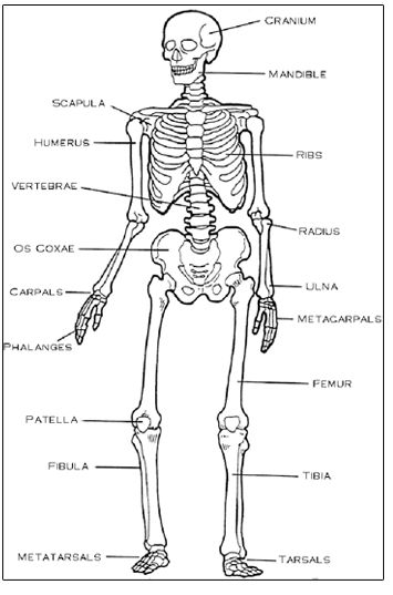Rare image regarding printable skeletal system