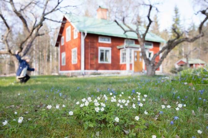 Vitsippor i trädgården. Foto: Erika Åberg #gamla #hus #trädgårdar #äppleträd #rödfärg #plåttak #byggnadsvård #veranda #pardörrar
