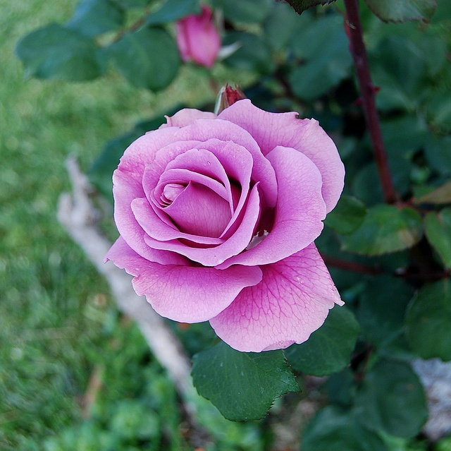 Sterling RoseRose Gardens, Fabulous Floral, Nature, Flower Gardens, Floral Dreams, Beautiful Rose, Future Gardens, Beautiful Things, Bella Flora