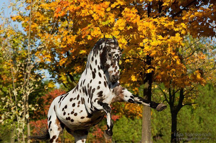 Appaloosa gelding.jpg - Appaloosa gelding rising against autumn colourful trees