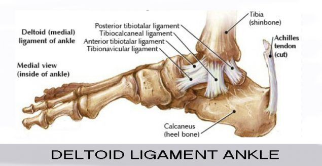 Deltoid Ligament Ankle Human Body Ankle Human Body