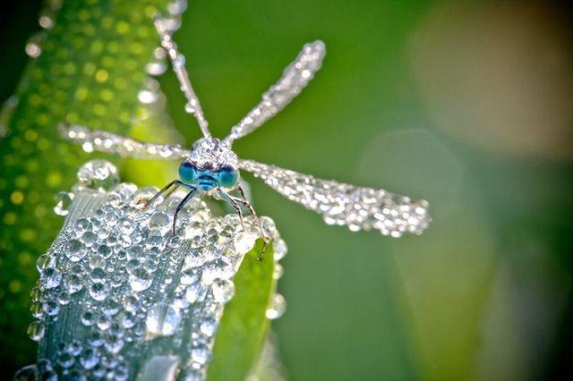 dewdrop dragonfly