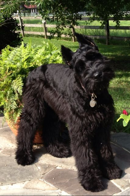 Sadie, Giant Schnauzer looks just like my mini Angus but giant <3