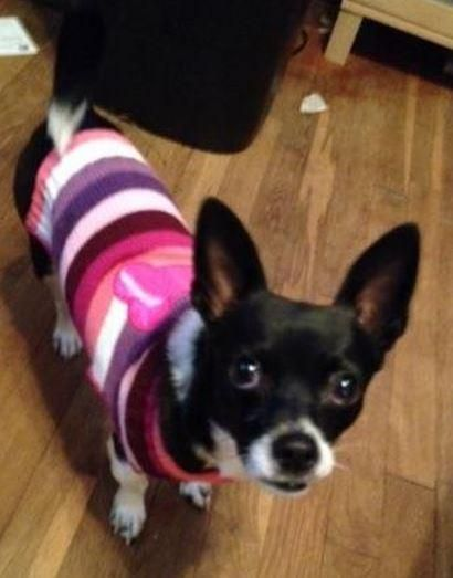 Meet Eve, a Petfinder adoptable Chihuahua Dog | Atlanta, GA | Hi There. I am Eve and I'm a 1-year-old, 8-pound  Boston Terrier / Chihuahua mix. A wonderful lady...