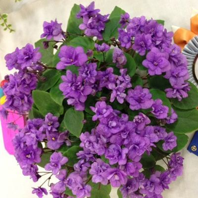 Rob's Galiwinku - The Violet Barn - African Violets and More