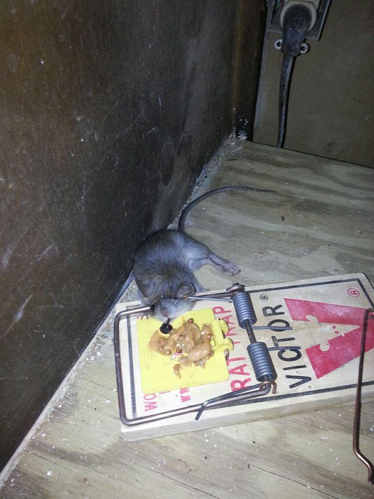 Roof Rat Caught Under A Kitchen Sink. Http://www.abolishpestwildlifecontrol.